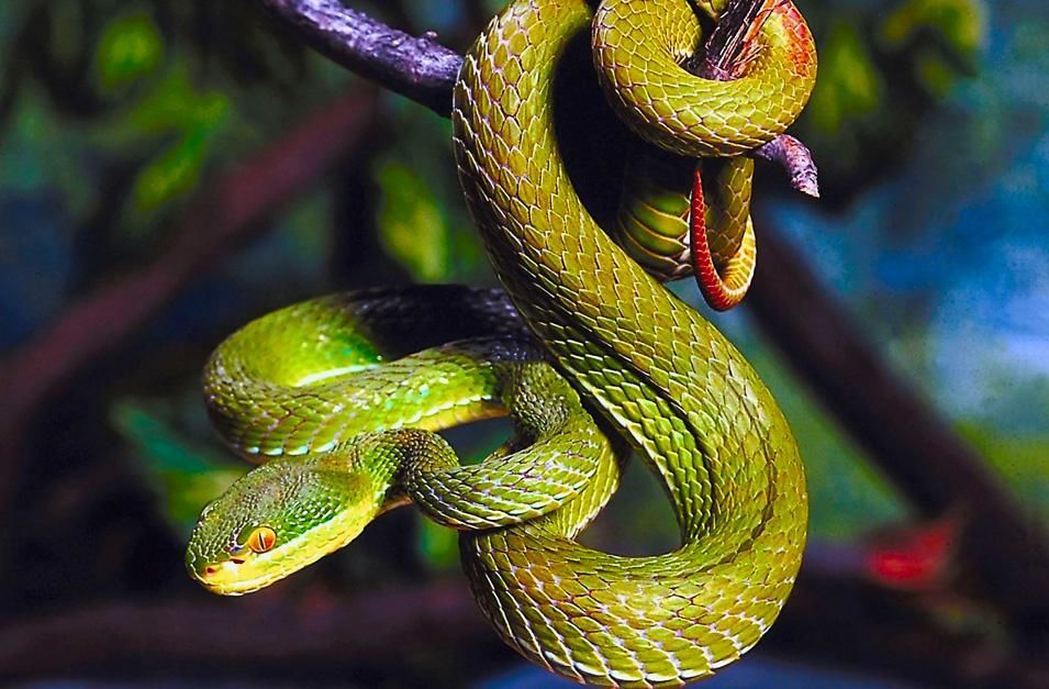 Green pit viper perched in a characteristic S-shape ready to strike. This image is from  World's... [Photo of the day - نوفمبر 2012]