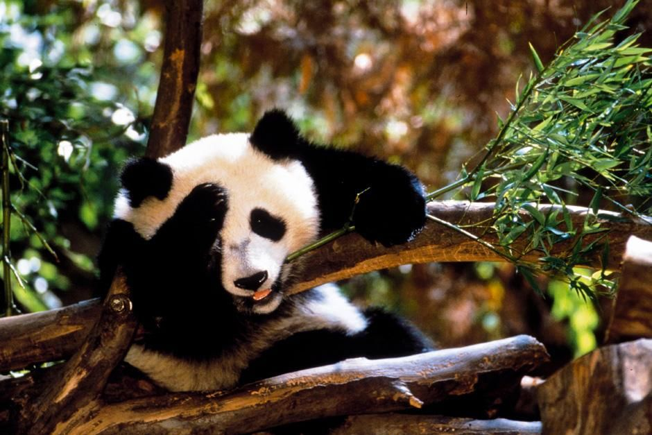 Hua Mei - Giant Panda Cub. This image is from  Panda Baby. [Photo of the day - November 2012]