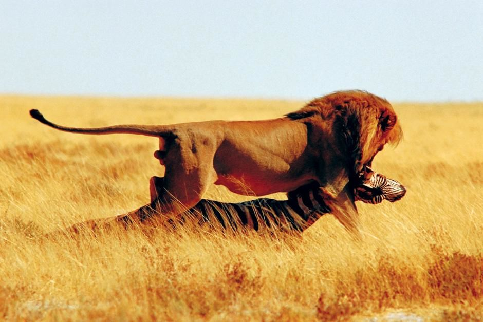 A lion attacks a zebra. This image is from Planet Carnivore. [Photo of the day - نوفمبر 2012]