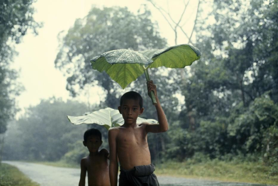Boys use giant alocasia leaves to shield themselves from a storm near Betong. Thailand. [Photo of the day - October 2011]