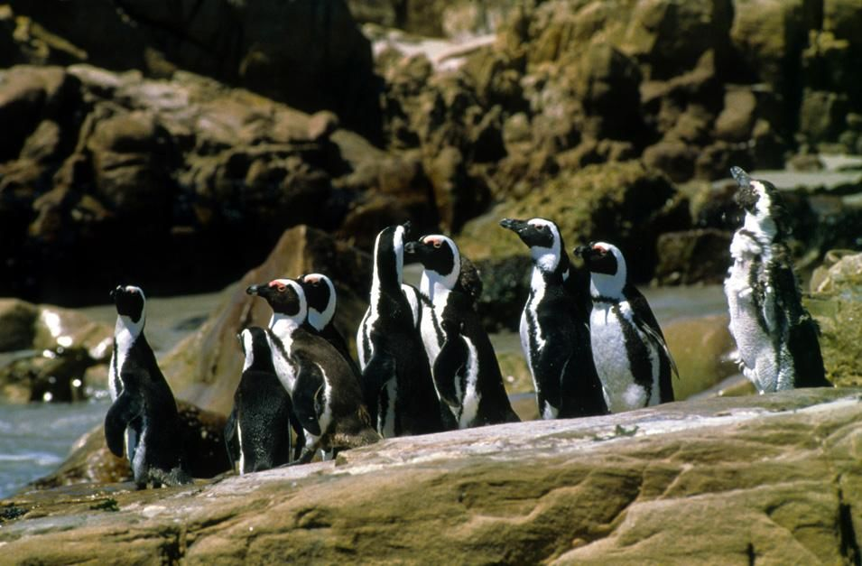 Jackass penguins on the Cape coast, South Africa. This image is from Fit for the Wild. [Photo of the day - نوفمبر 2012]