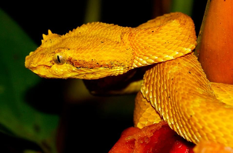 Golden eyelash viper poised to strike. This image is from World's Deadliest Animals. [Photo of the day - November 2012]