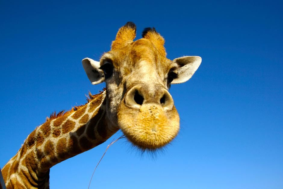A giraffe looks into the camera at the Singita game reserve in South Africa. This image is from... [Photo of the day - نوفمبر 2012]