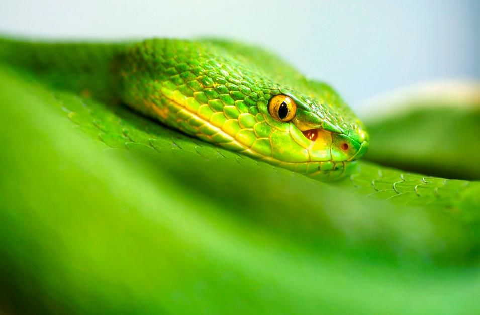 A white lipped green pit viper's face caught in focus around its body. Their forked tongue... [Photo of the day - 十一月 2012]