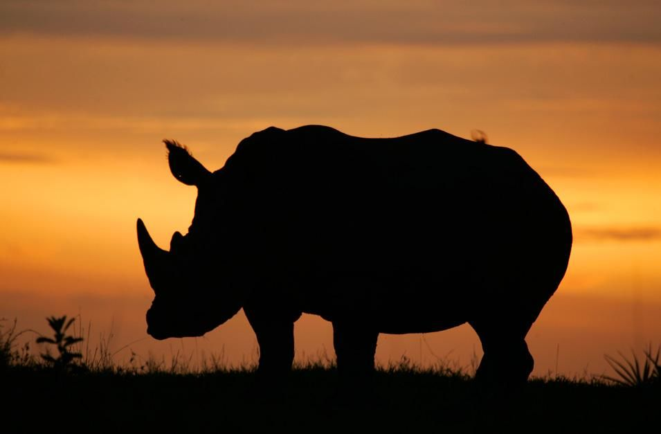 A white rhino's silhouette in the Okavango Delta in Botswana, South Africa at dusk. This image... [Photo of the day - نوفمبر 2012]