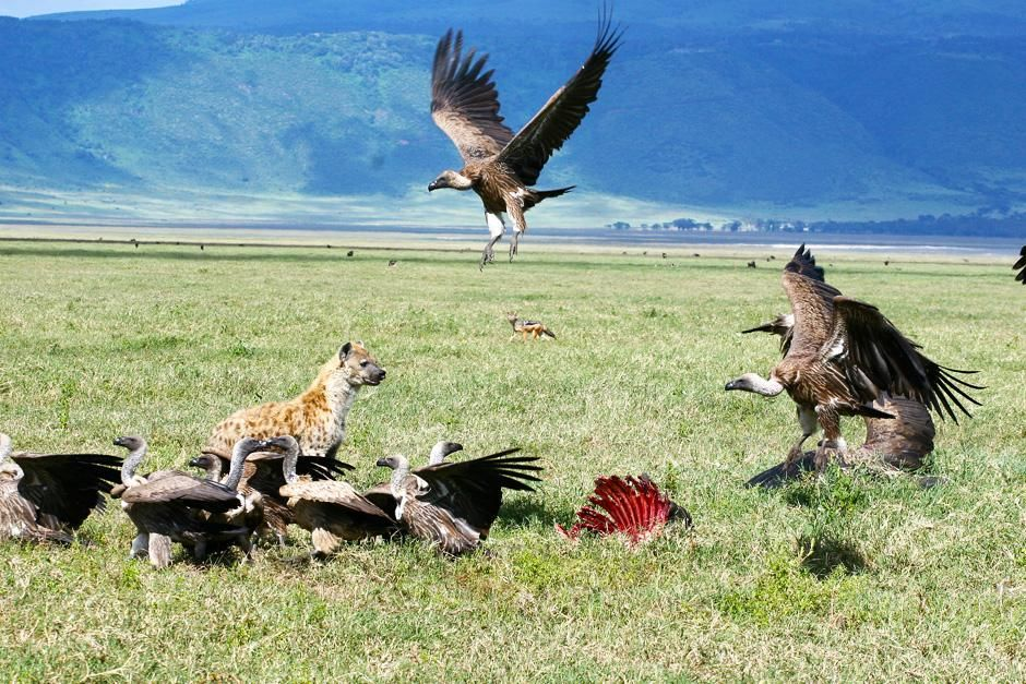 Vultures and hyenas feeding on a carcass. This image is from Planet Carnivore. [Photo of the day - November 2012]