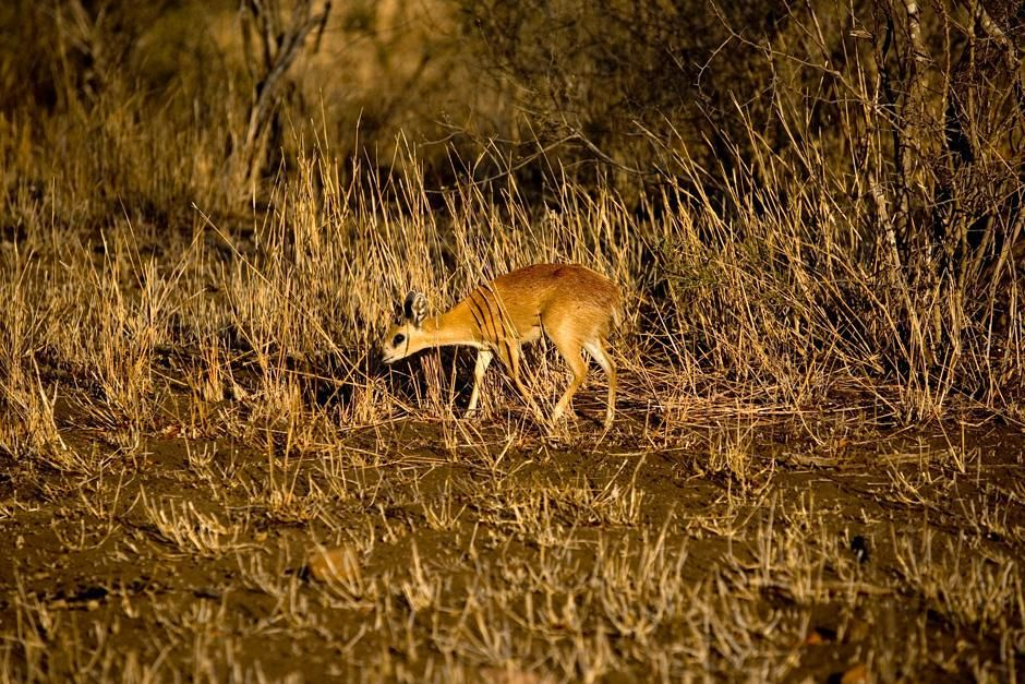 Grys buck at Singita Kruger National Park in South Africa on National Geographic Wild.  This... [Photo of the day - November 2012]