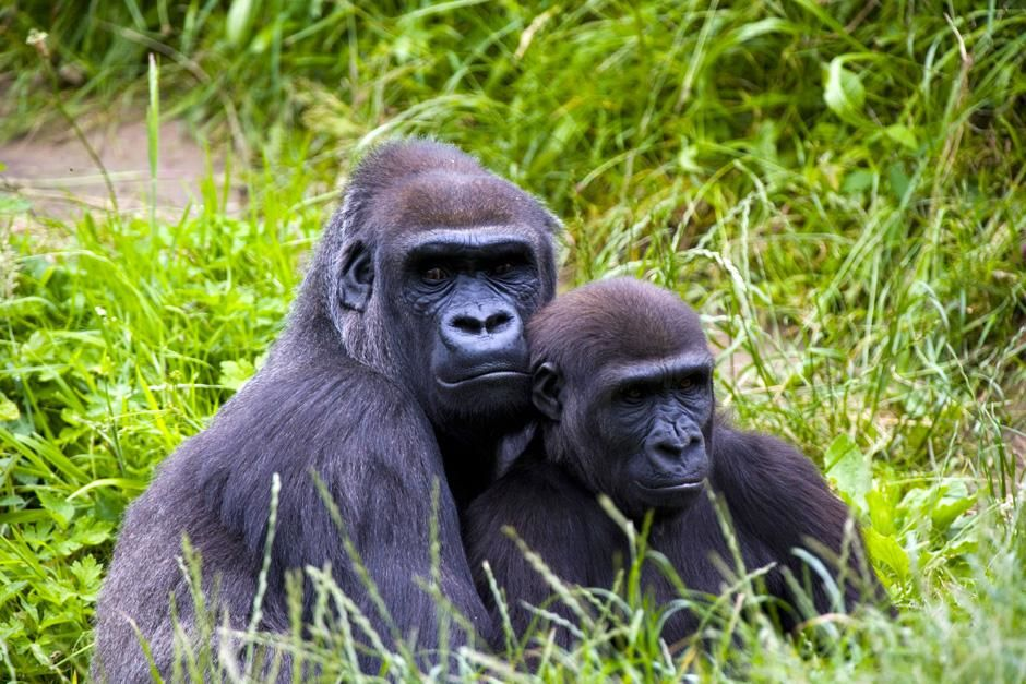 A mother gorilla and her infant sitting in the long grass. Conflicts in weaning between mother... [Photo of the day - November 2012]