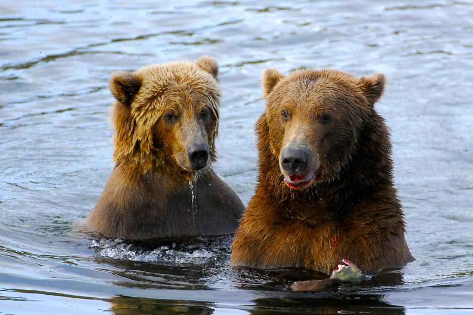 A mother bear with her cub dine side by side in Brooks River, Alaska. This image is from Planet... [Photo of the day - November 2012]