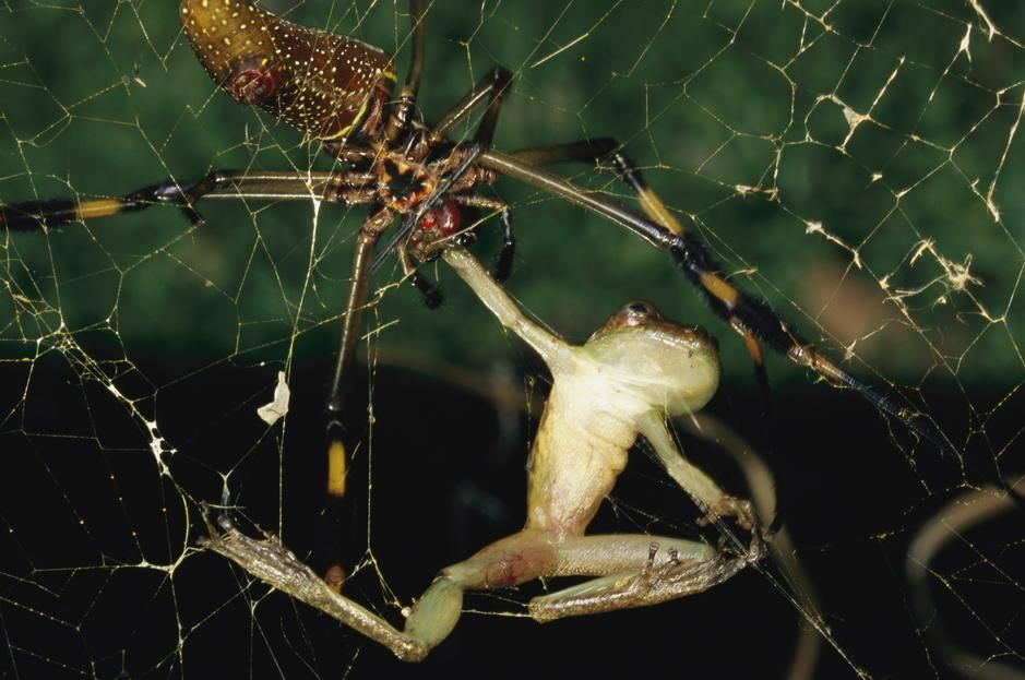 A spider bites a frog, paralising it, La Selva. Costa Rica. [Photo of the day - October 2011]