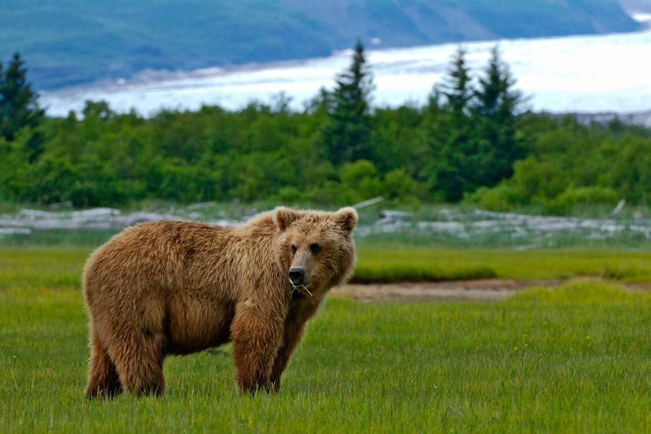 Bear stands with Hallo Bay glacier in background. This image is from Planet Carnivore. [Photo of the day - November 2012]