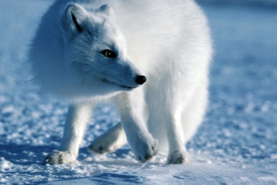 A polar fox in the snow. This image is from Planet Carnivore. [Photo of the day - November 2012]