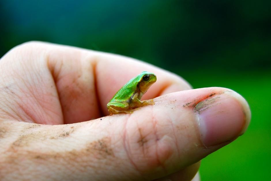 A tiny frog rests on a hand. This image is from Dangerous Encounters. [Photo of the day - November 2012]