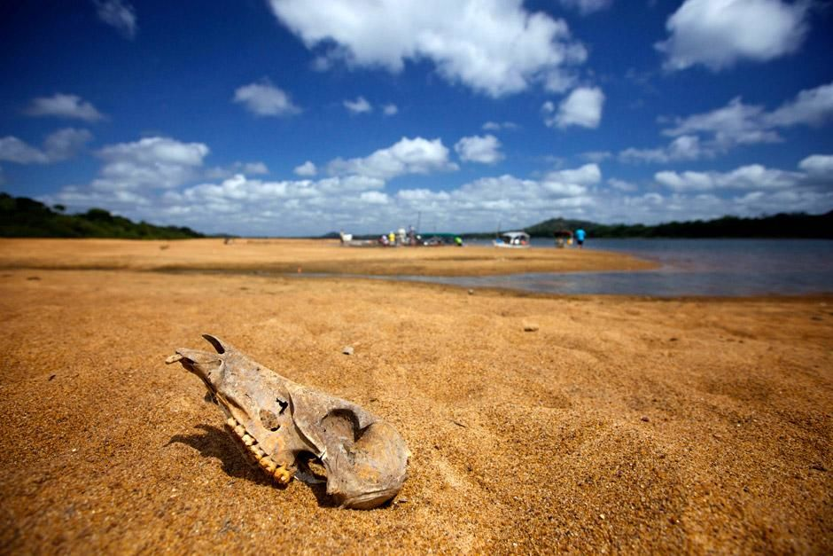 Brazil: An animal skull on the banks of the Xingu River, found near where the team has set up... [Photo of the day - دسامبر 2012]