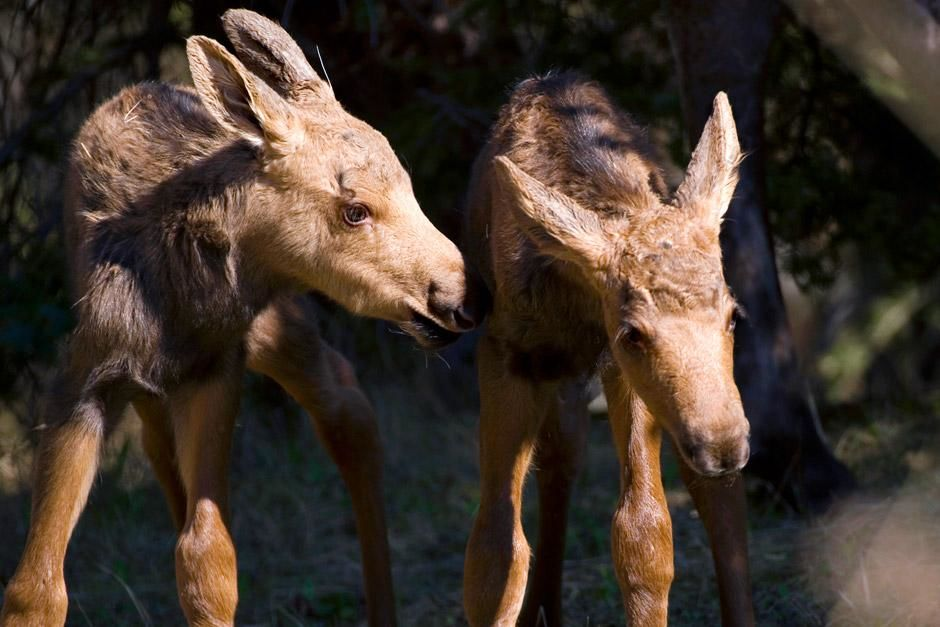Newborn moose calf twins in Anchorage, Alaska USA. This image is from Mysteries Of The Moose. [Photo of the day - December 2012]