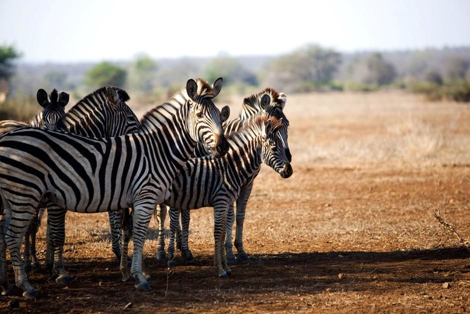 A zebra at Singita Kruger National Park in South Africa. This image is from Safari Live. [Photo of the day - ديسمبر 2012]