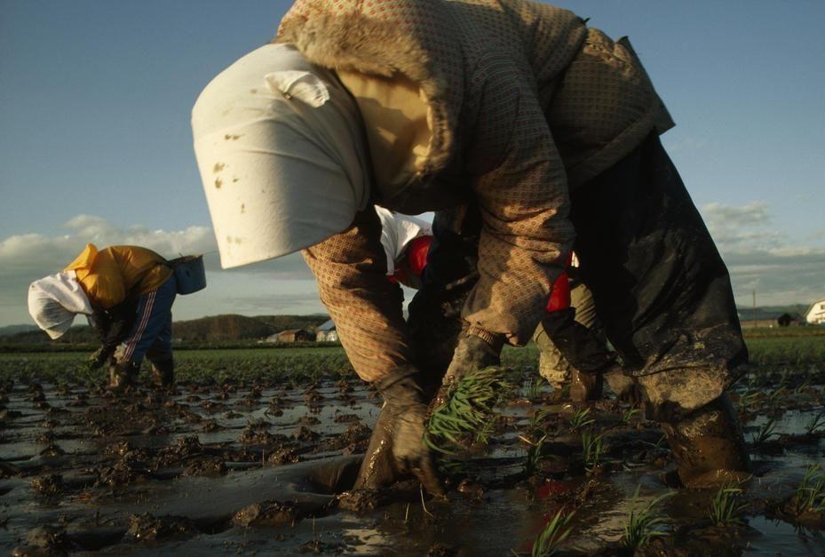 مزارعون يابانيون يزرعون الأرز يدويًا بالطريقة... [Photo of the day - أكتوبر 2011]