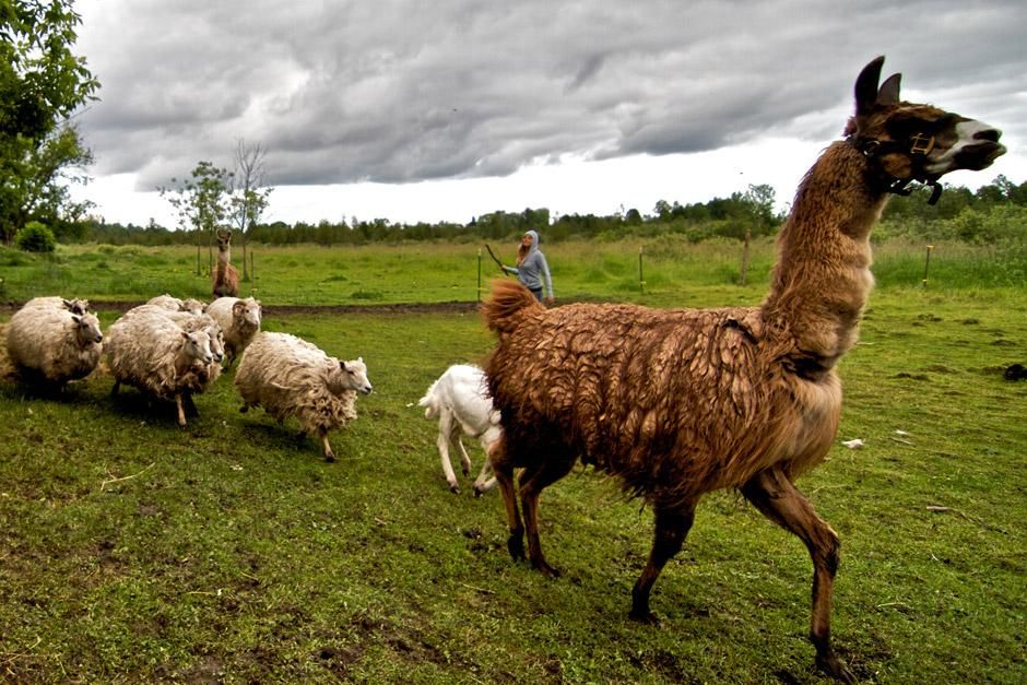 A rescued llama leads a line of rescued sheep at Piper's Place, the new rescue center at the... [Photo of the day - December 2012]