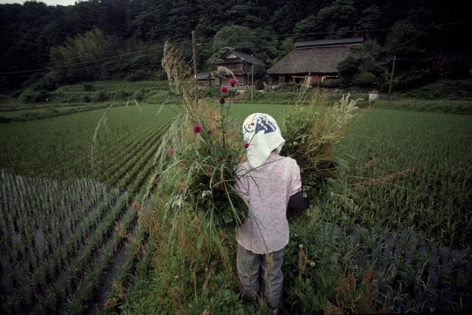 A Japanese farm woman carrying ornamentals walks through rice fields in Honshu. [Photo of the day - July 2011]