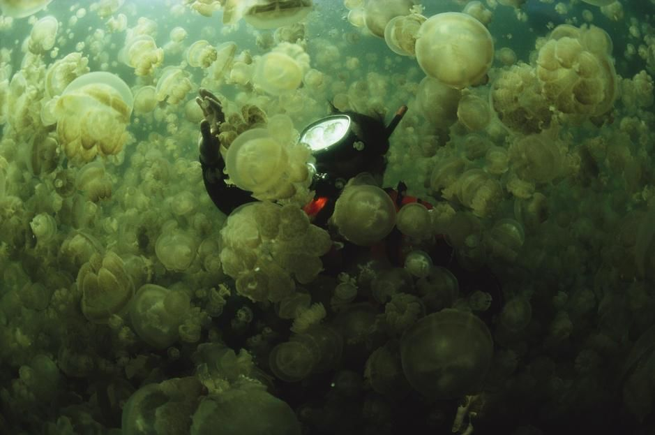 A diver in a lake filled with jellyfish, Caroline Islands. Republic of Palau. [Photo of the day - October 2011]