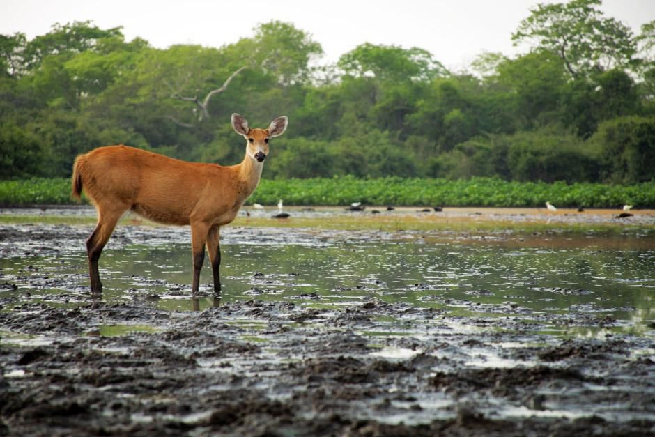 A marsh deer. This image is from Secret Brazil. [Photo of the day - January 2013]