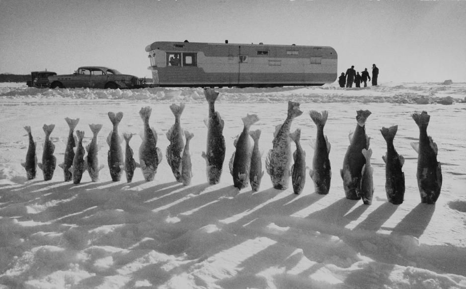 Twenty Walleye pike fish, frozen solid, kiss the snow, in Minnesota. USA. [Photo of the day - October 2011]