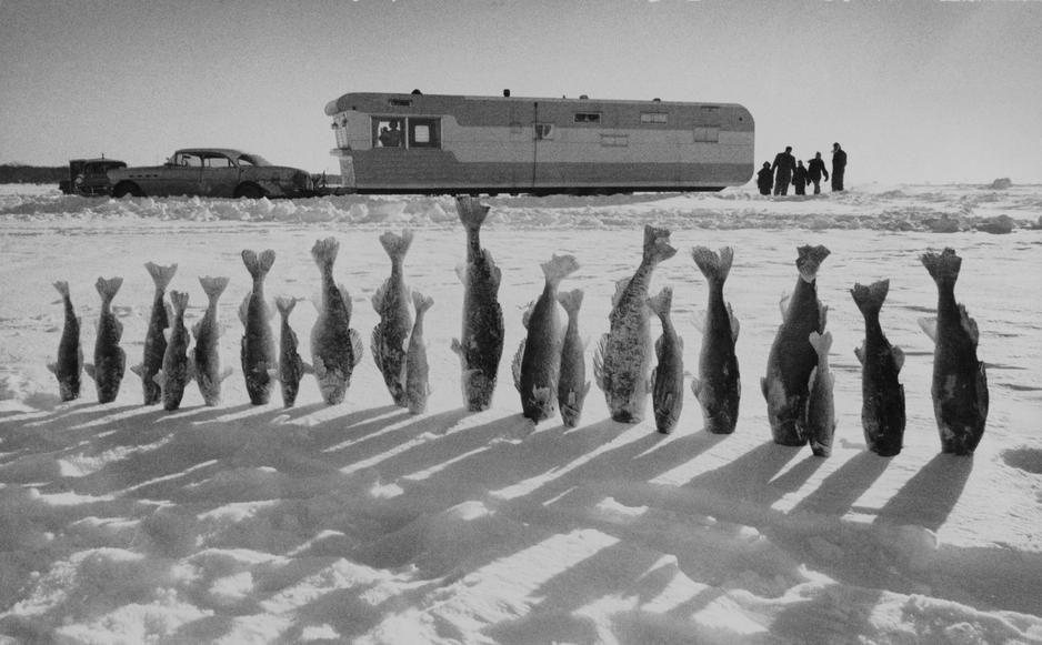 عشرون سمكة من أسماك الكراكي المجمدة تقبل الجليد في... [Photo of the day - أكتوبر 2011]