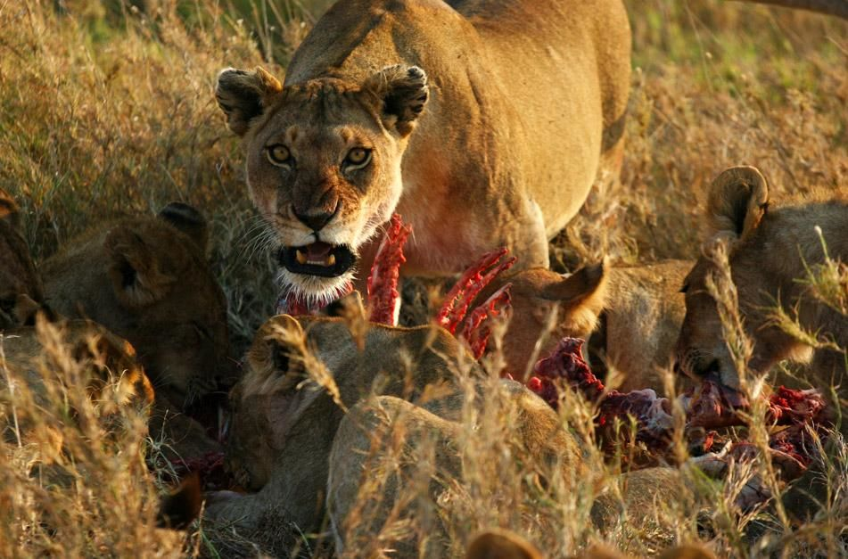Lions feeds on zebra carcass. This image is from Super Pride. [Photo of the day - January 2013]