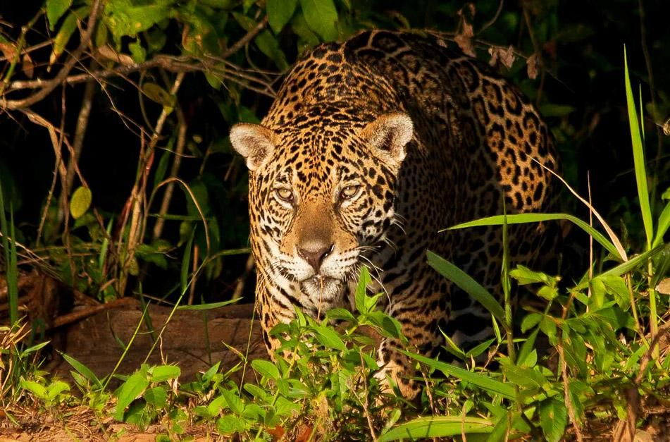 Jaguar stalks its prey. This image is from Secret Brazil. [Photo of the day - January 2013]