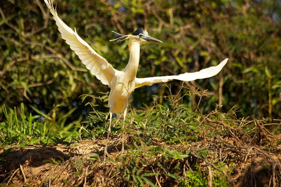 Capped heron with its wings open.This image is from Secret Brazil. [Photo of the day - January 2013]