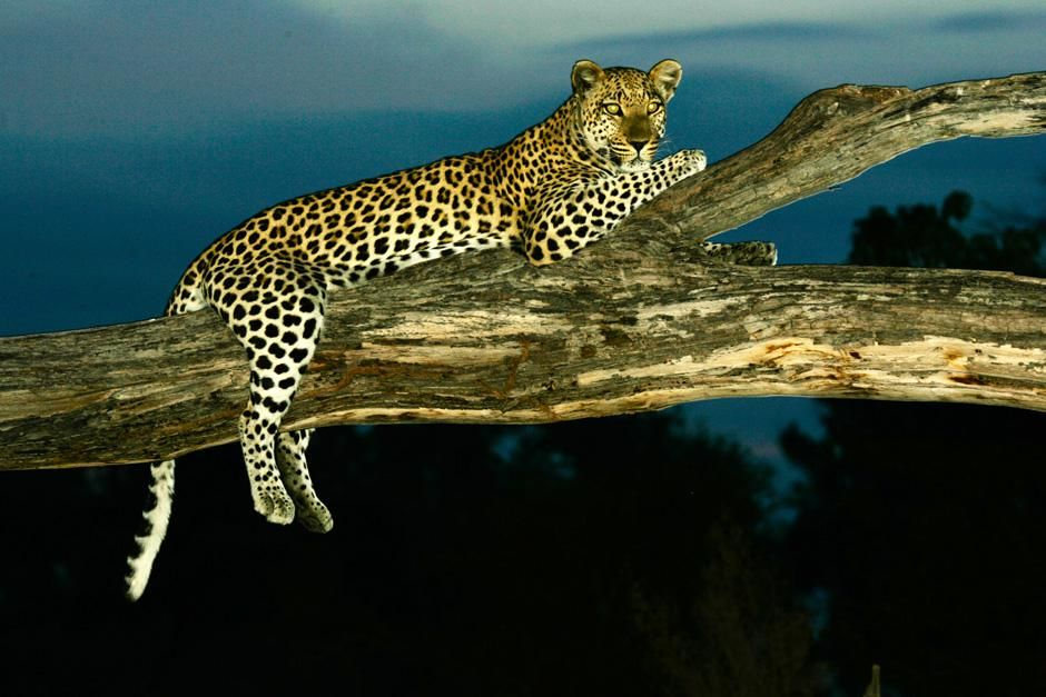 A leopard relaxes on a tree at night. This image is from The Unlikely Leopard. [Photo of the day - February 2013]