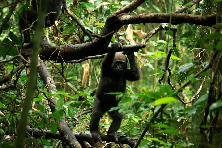 Central African Republic: A juvenile gorilla standing in a tree.  This image is from My Gorilla... [Photo of the day - February 2013]
