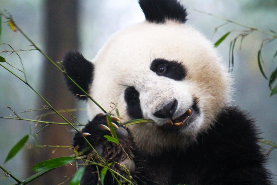 Sechuan, China: A panda eating bamboo. This image is from World's Wildest Encounters. [Photo of the day - February 2013]