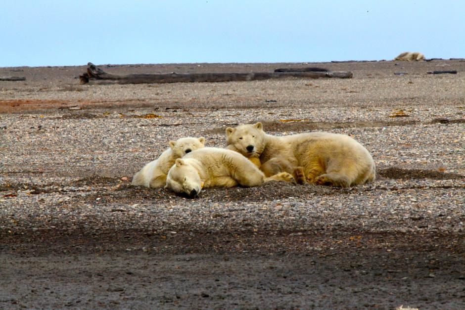 Kaktovik, AK, USA: A polar bear and her two cubs take a nap. This image is from Wild Alaska. [Photo of the day - February 2013]
