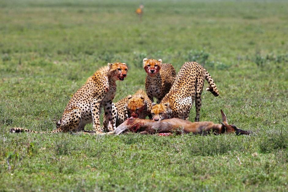 Serengeti/Massai Mara - The cheetah siblings have survived and their young mother did a good... [Photo of the day - 三月 2013]