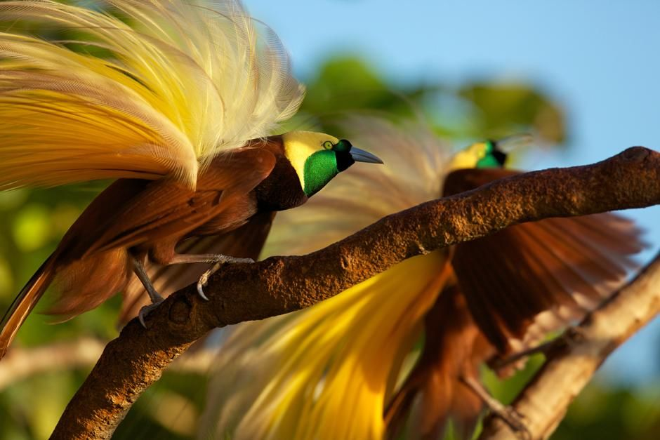 Badigaki Forest, Wokam Island in the Aru Islands, Indonesia: Greater Bird of Paradise... [Photo of the day - 三月 2013]