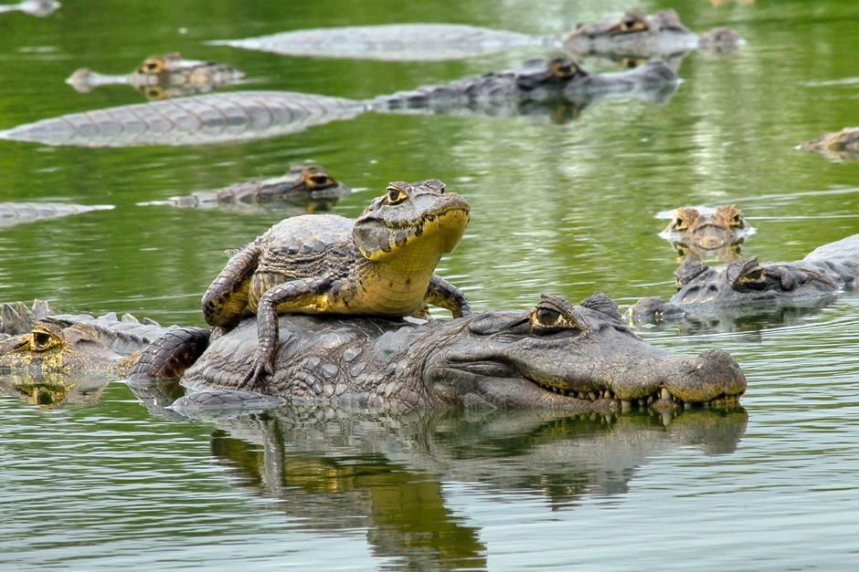 Caimans in the lagoon. This image is from Secret Brazil. [Photo of the day - مارس 2013]