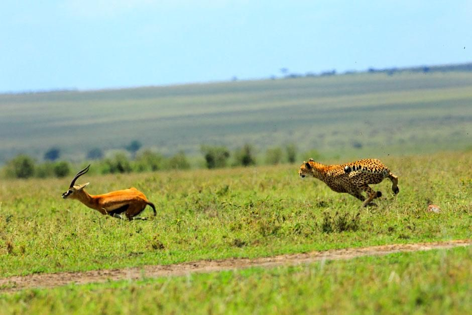 Serengeti/Massai Mara - Cheetahs are the fastest land animals but gazelles are very agile. This... [Photo of the day - March 2013]