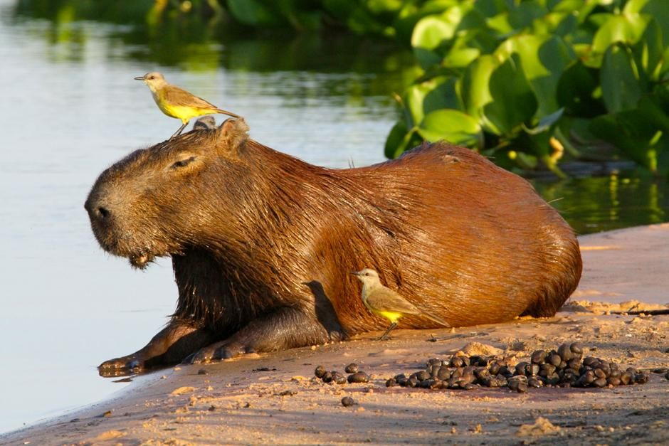 Pantanal, Brazil: A capybara, the largest rodent in the world. This image is from World's... [Photo of the day - مارس 2013]