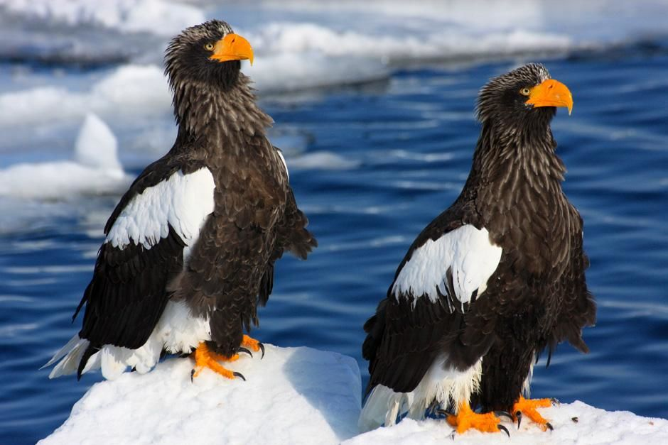 "Stellar's Sea Eagle, also known as ""O-Washi"" (Haliaeetus pelagicus) perching on the snow.  These... [Photo of the day - March 2013]"