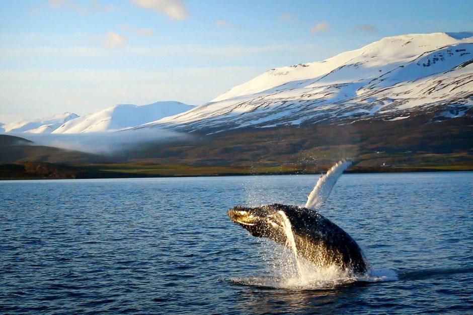 Iceland: A humpback whale breaches in a fjord. This image is from Alien Deep. [Photo of the day - مارس 2013]
