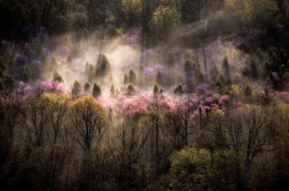 Misty View of a forested hillside with trees in bloom, Virginia. USA. [Photo of the day - November 2011]