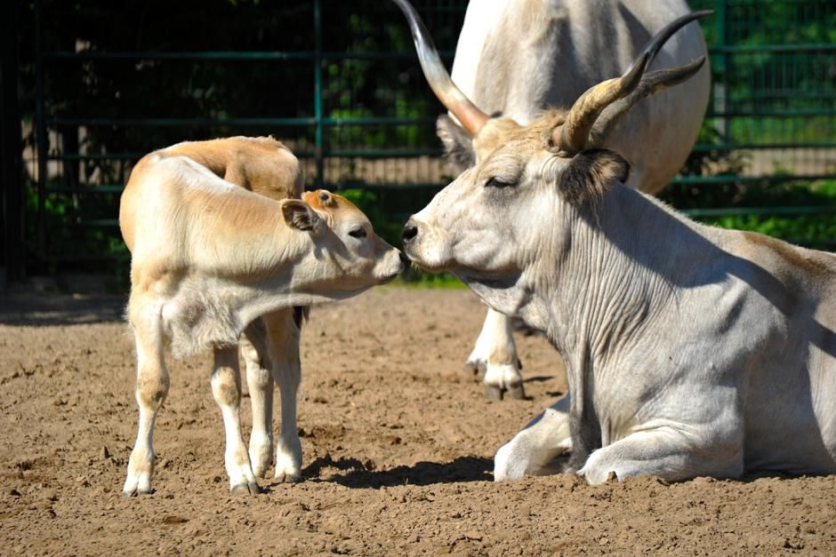 Hungarian steppe cattle from a family-run zoo called Zoo Juniors. This image is from Zoo Juniors. [Photo of the day - 三月 2013]