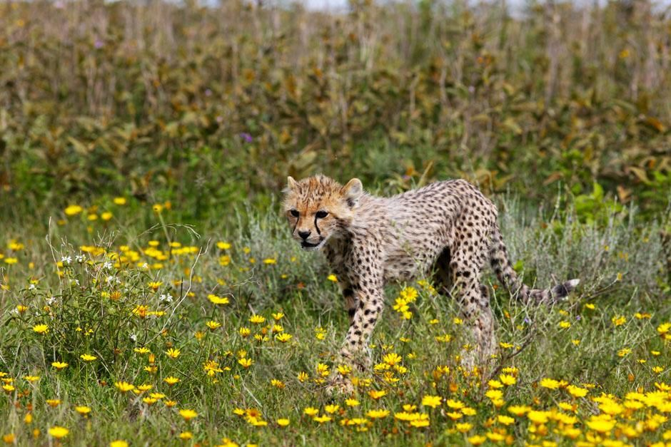 Serengeti/Massai Mara, Africa: This little cheetah is a few months old having already survived... [Photo of the day - آوریل 2013]