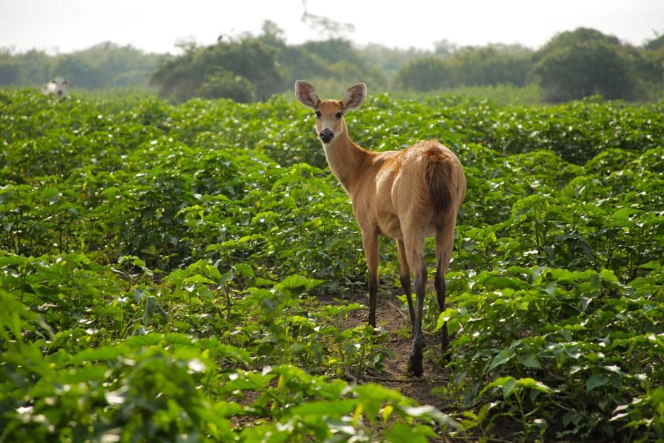 Brazil: A marsh deer. This image is from Secret Brazil. [Photo of the day - April 2013]