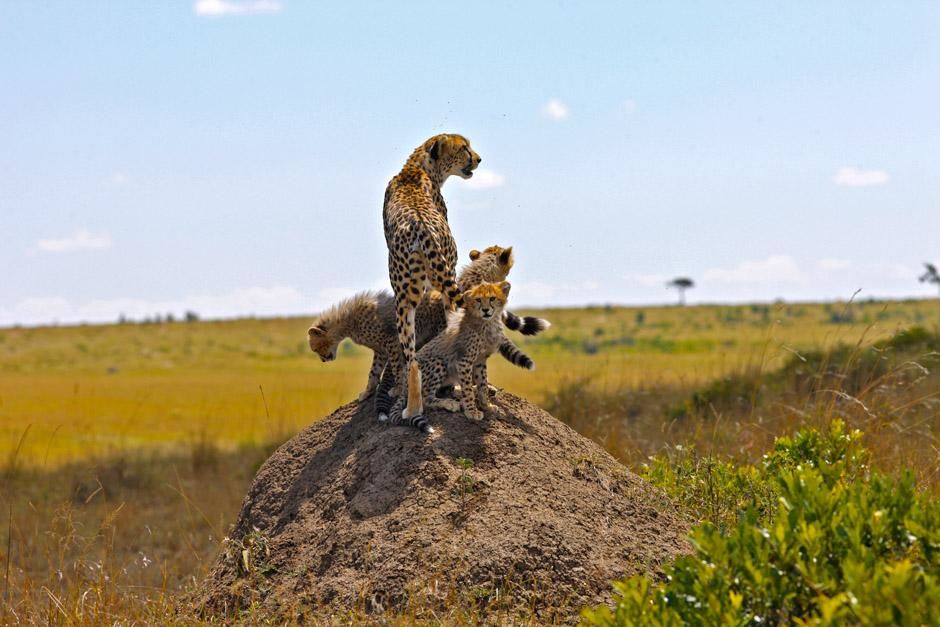 Serengeti/Massai Mara, Africa: A young cheetah with her four cubs. They are born blind and... [Photo of the day - April 2013]