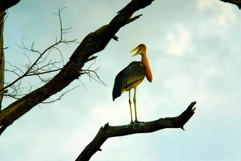 Africa: A Marabou stork perches on a tree limb to survey the open grasslands. This image is from... [Photo of the day - April 2013]