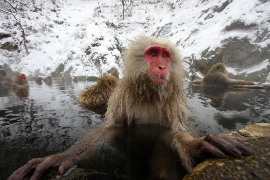 Japan: Japanese macaques (Macaca fuscata) are the only monkeys in the world to enjoy the hot... [Photo of the day - April 2013]