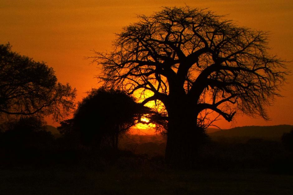 Tanzania: An early morning sun rises over a baobab tree in Ruaha National Park. This image is... [Photo of the day - آوریل 2013]