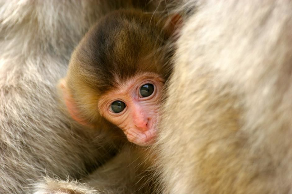 Japan: Close up of a baby Japanese macaques (Macaca fuscata) holding onto an adult macaque. This... [Photo of the day - April 2013]